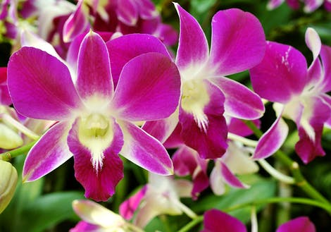 Close-up photograph of dendrobium orchids