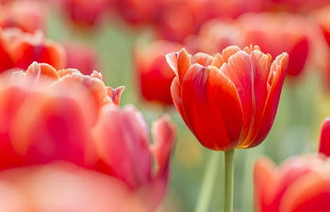 Photograph of tulips