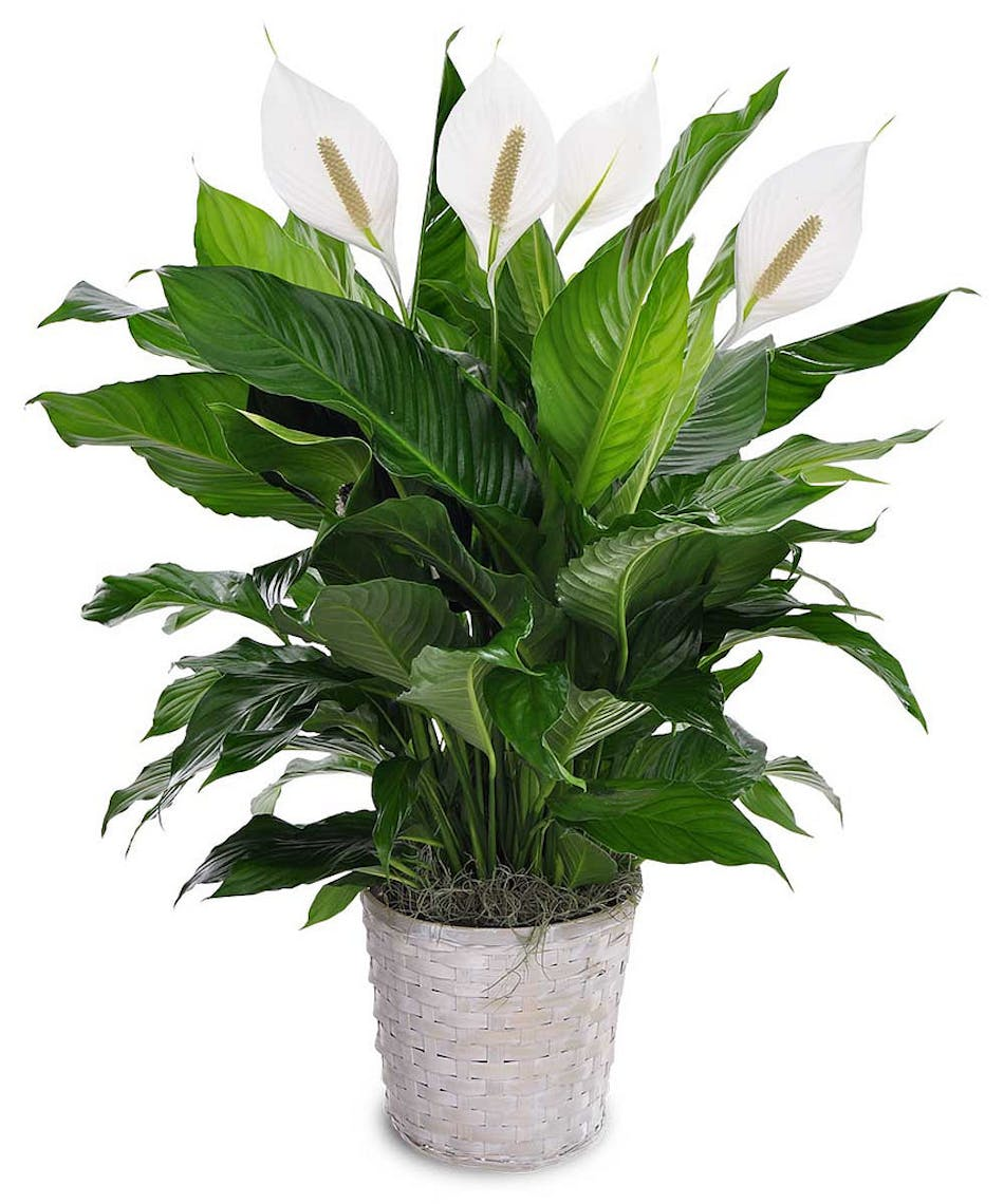 Peace Lily Cincinnati Oh Same Day Delivery