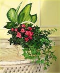Planter in a basket with a Blooming Plant