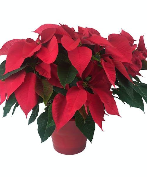 Potted Poinsettia Splendor -  Red Ceramic Container