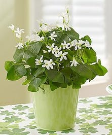 Native Irish Shamrocks