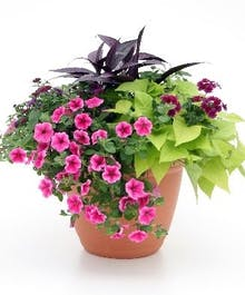 Bright Garden Combination Pot of Bloomers!