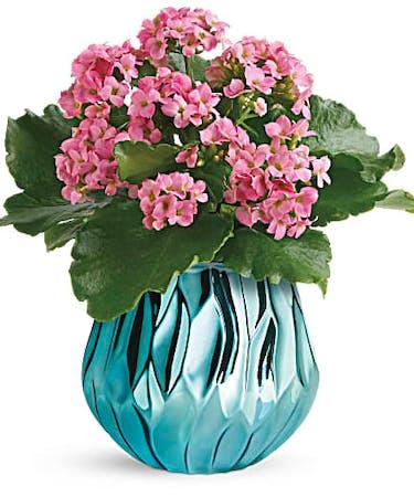 Blooming Gem Kalanchoe Plant
