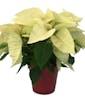 Splendor with White Poinsettia