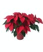 Splendor with Red Poinsettia